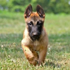 Proper shape proper vaccinated Belgian Malinois puppies for sale at sreeganesh f
