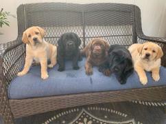Adorable Labrador puppy for adoption