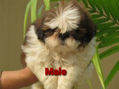 Shih Tzu Dogs For Sale At Kolkata & Puppies Dogs