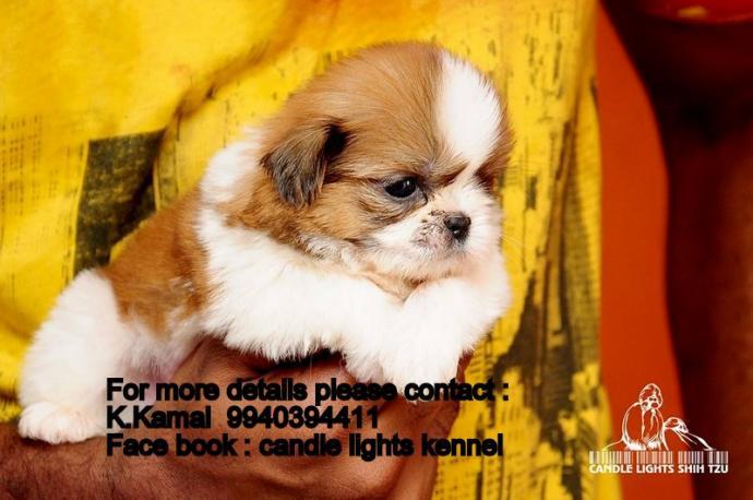 Shih Tzu Puppies For Sales In Chennai Chennai Zamroo