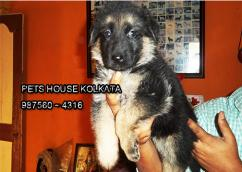 GERMAN SHEPHERD Dogs And Puppies for sale At JHARKHAND