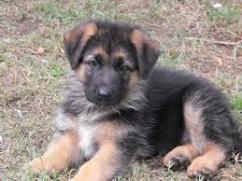 Sreeganesh farm offers best quality German shephard puppies  in All indi
