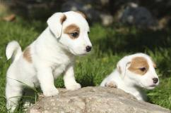 Sreeganesh farm offers best quality Jack Russell Terrier puppies  in
