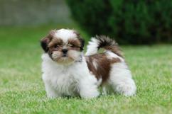 Sreeganesh farm offers Best quality Shih tzu puppies