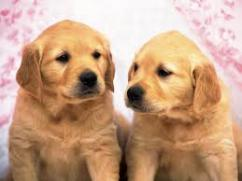 Champion lineup Golden Retriever puppies  at sreeganesh farm