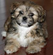 Sreeganesh farm offers Best quality Lhasa apso puppies