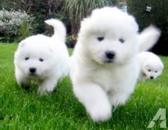 KCI Registered Samoyed puppies through all over india