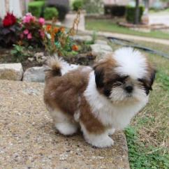 Sreeganesh farm offers best quality Shih tzu puppies in All india
