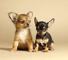 KCI Registered B Chihuahua ull dog puppies  through all over india