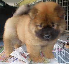 KCI Registered Chow Chow through all over india