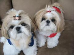 KCI Registered Shih tzu through all over india