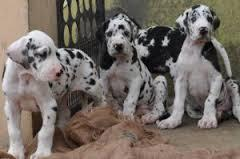 KCI Registered Great Dane  through all over india