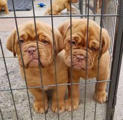 Proper shape proper vaccinated French Mastiff  Pets Farm