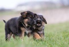 Champion lineup German shephard puppies for sale at sreeganesh farm