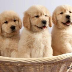 Sreeganesh farm offers best quality Golden Retriever puppies for sale in All ind