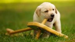 Sreeganesh farm offers Best quality Labrador Retriever puppies for sale