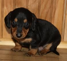 Excellent quality Dachschund puppies ready to sale at sreeganesh farm