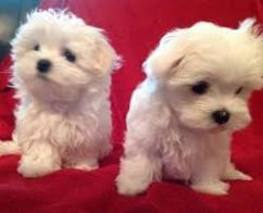 Excellent quality Maltese puppies ready to sale at sreeganesh farm