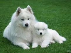 Champion lineup Samoyed puppies for sale at sreeganesh farm