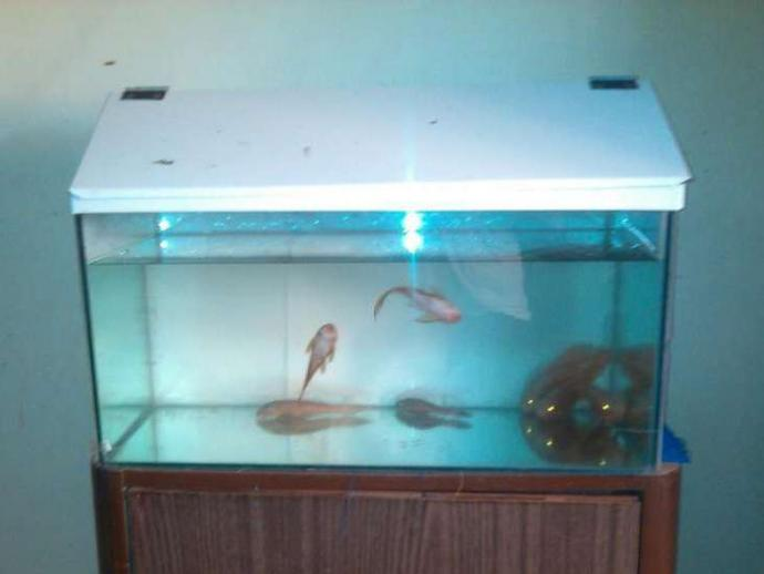 2 feet fish tank with Redfire Auskers & white shed
