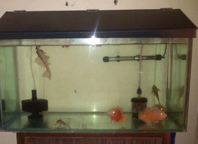 2.5 feet fish tank with black shed n 3 Redfire Auskers