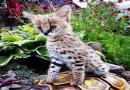 Savannah And Caracal Kittens  Serval Available