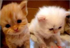 Persian Kittens In Testify Pet Shop Available