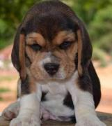 Beagle Pups In Affordable Pricing