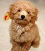 Cute Poodle Puppy Available