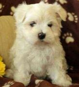 Maltese Puppy Available