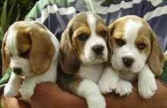 Beagle Puppies With Heavy Bone