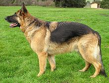 2 year old german shepherd