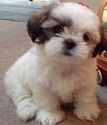 Very Cute Shih Tzu mix puppy need