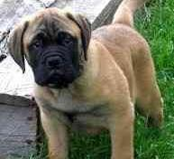 Bull Mastiff In Golden Color