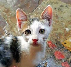 Kitten For Adoption Available