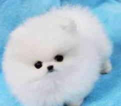Cute Pomeranian Pups In White Color