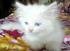 Arabic Persian Cat For Sale