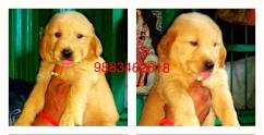 Show prospect massive healthy all kinds of Puppys available for sell