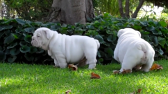 English Bulldog puppies to offer for adoption