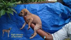 chippiparai kanni kombai Rajapalayam puppy Sales