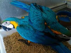 Parrots and Fertile Parrot Eggs  Sale Whatsup 00237683063303