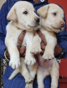 Goswami Kennels & Breeders- All variety of pure puppies available