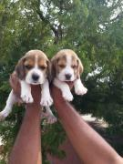 show breed quality beagle puppies available in Ban