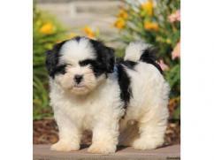 Beautiful Shih Tzu Puppies for adoption