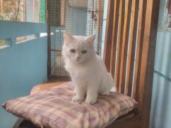 1 month Turkish angora kittens