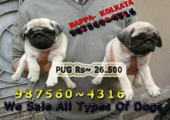 KCI registered PUG Dogs available here for sale at SILIGURI