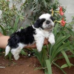 shih tuz puppy for sale.  0888.676.11.88