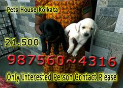 Imported Quality LABRADOR Dogs available At  KOLKATA