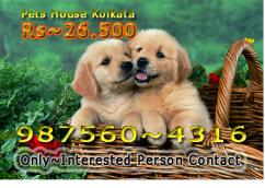 Imported Quality GOLDEN RETRIEVER  Dogs available At KOLKATA