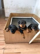 Top Quality Rottweiler Puppies for adoption
